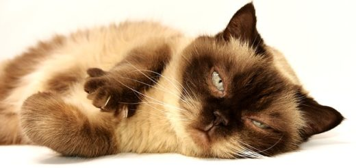 un chat allongé et malade