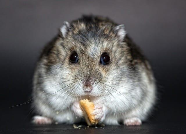 un hamster qui mange