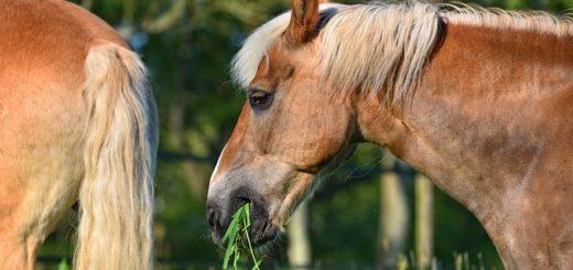 un cheval qui mange