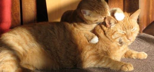 deux chats qui se lèchent