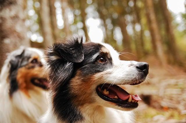 un chien berger australien