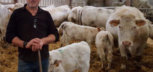 vélage groupé des vaches