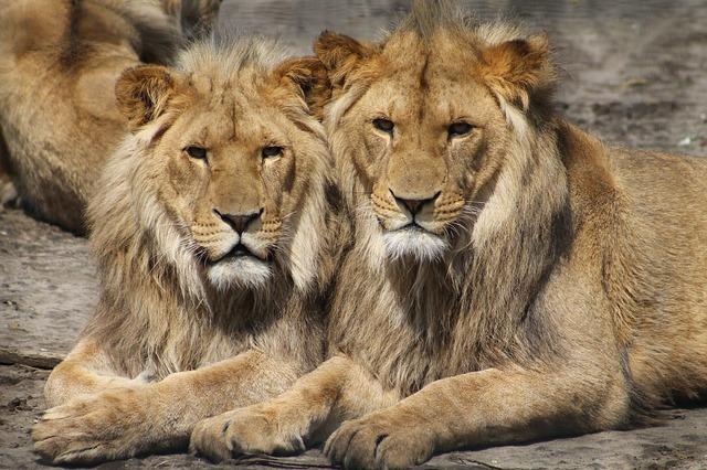 lions dans un zoo